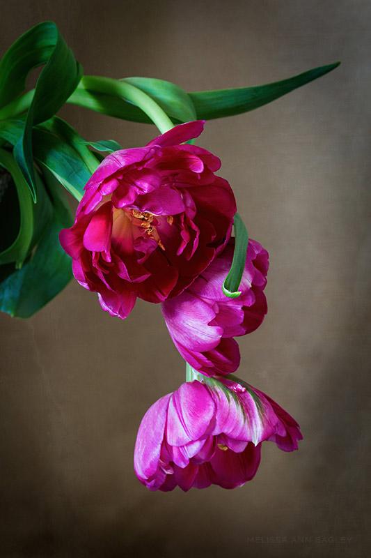 Pink Tulip Still Life by Melissa Ann Bagley