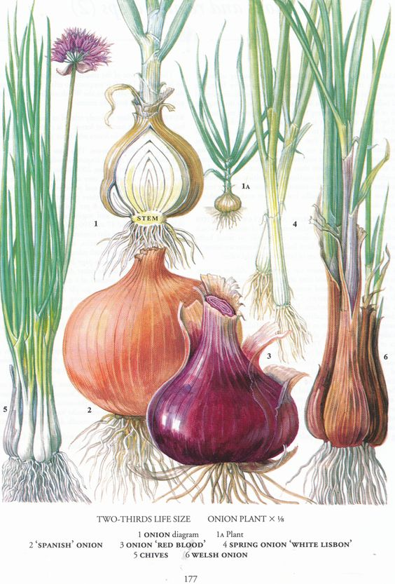 Onions diagram for Vegetable Beef Soup recipe   Girlfriend is Better