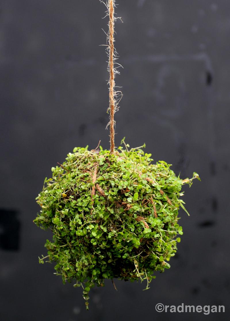 Kokedama Japanese moss ball plant   Girlfriend is Better