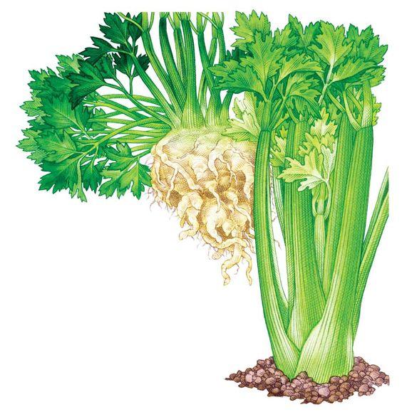 Health benefits of celery   Chicken Pot Pie recipe   Girlfriend is Better