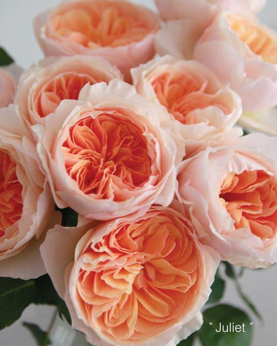 Fresh rose water skin toner DIY   David Austin peach Juliet garden roses   Girlfriend is Better