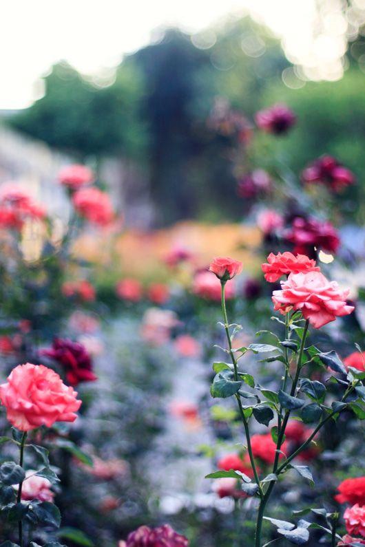 Simple garden   Rose water facial toner skin beauty   Girlfriend is Better