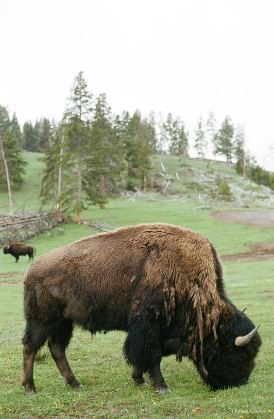 Bison in Yellowstone National Park   Travel guide day trip   Girlfriend is Better