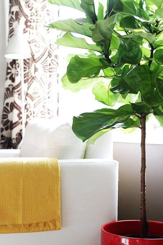 color blocking decor   yellow throw blanket red ceramic planter fiddle leaf fig living room   Girlfriend is Better