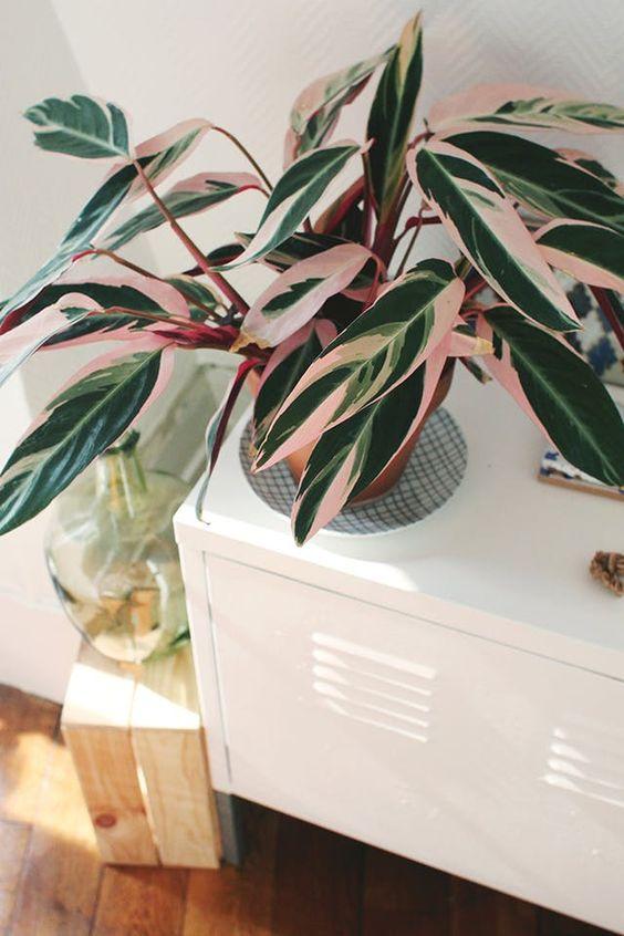 pink plants   stromanthe plant care console italian wine jug green   Girlfriend is Better