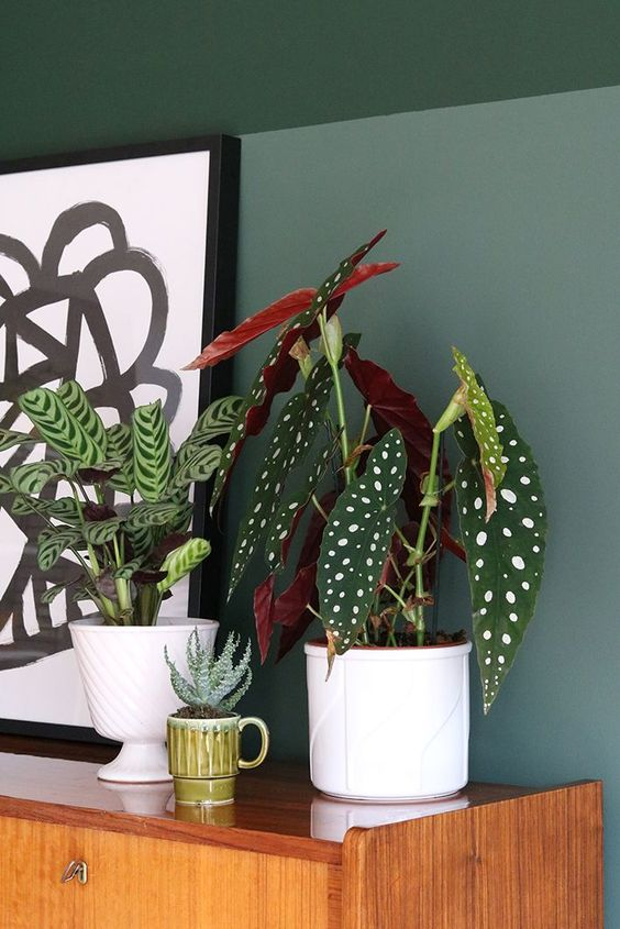 patterned foliage   polka dot plants Begonia Macualta   Girlfriend is Better