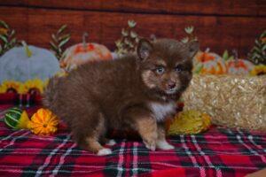 Sapphire @ 6 weeks old