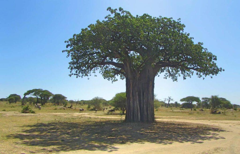 Strong Baobob tree