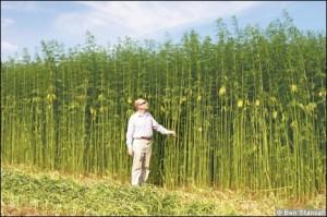 hemp-field