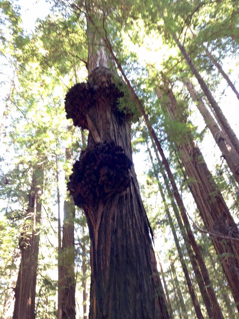 Redwoods 2017 10 01 27 Of 244