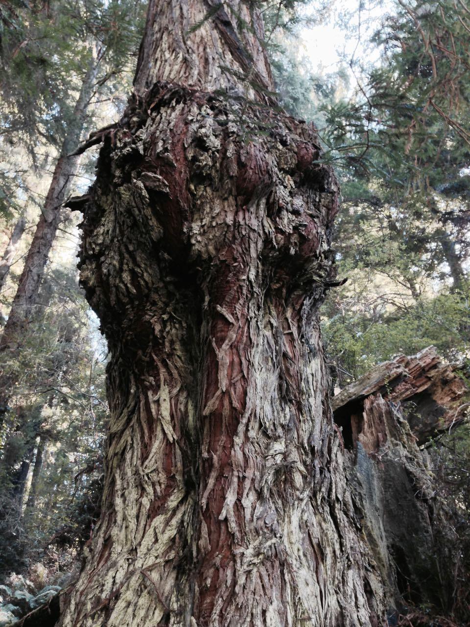 Redwoods 2017 10 01 86 Of 244