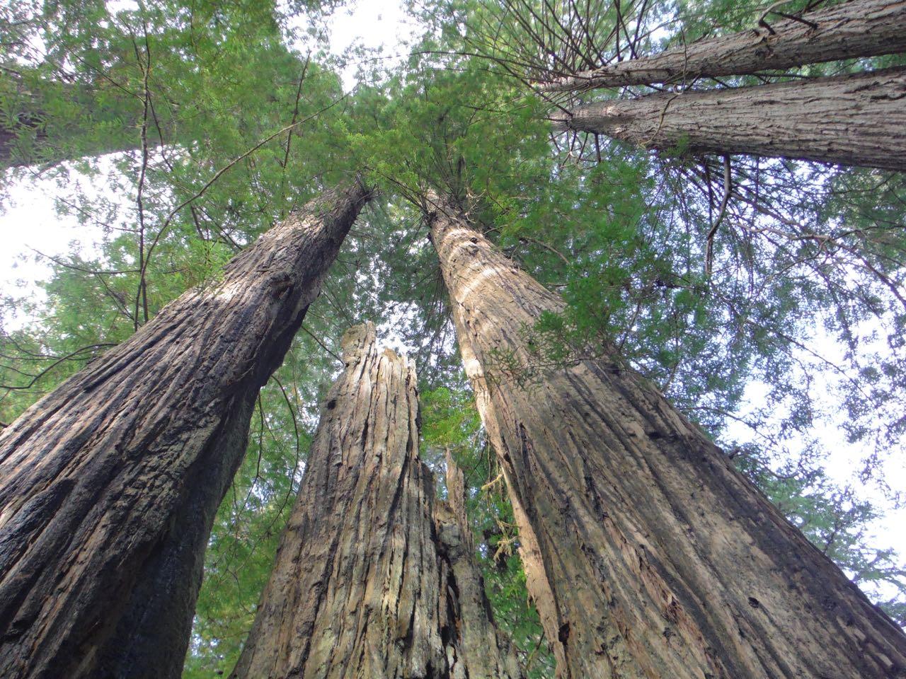 Redwoods 2017 10 08 272 Of 287