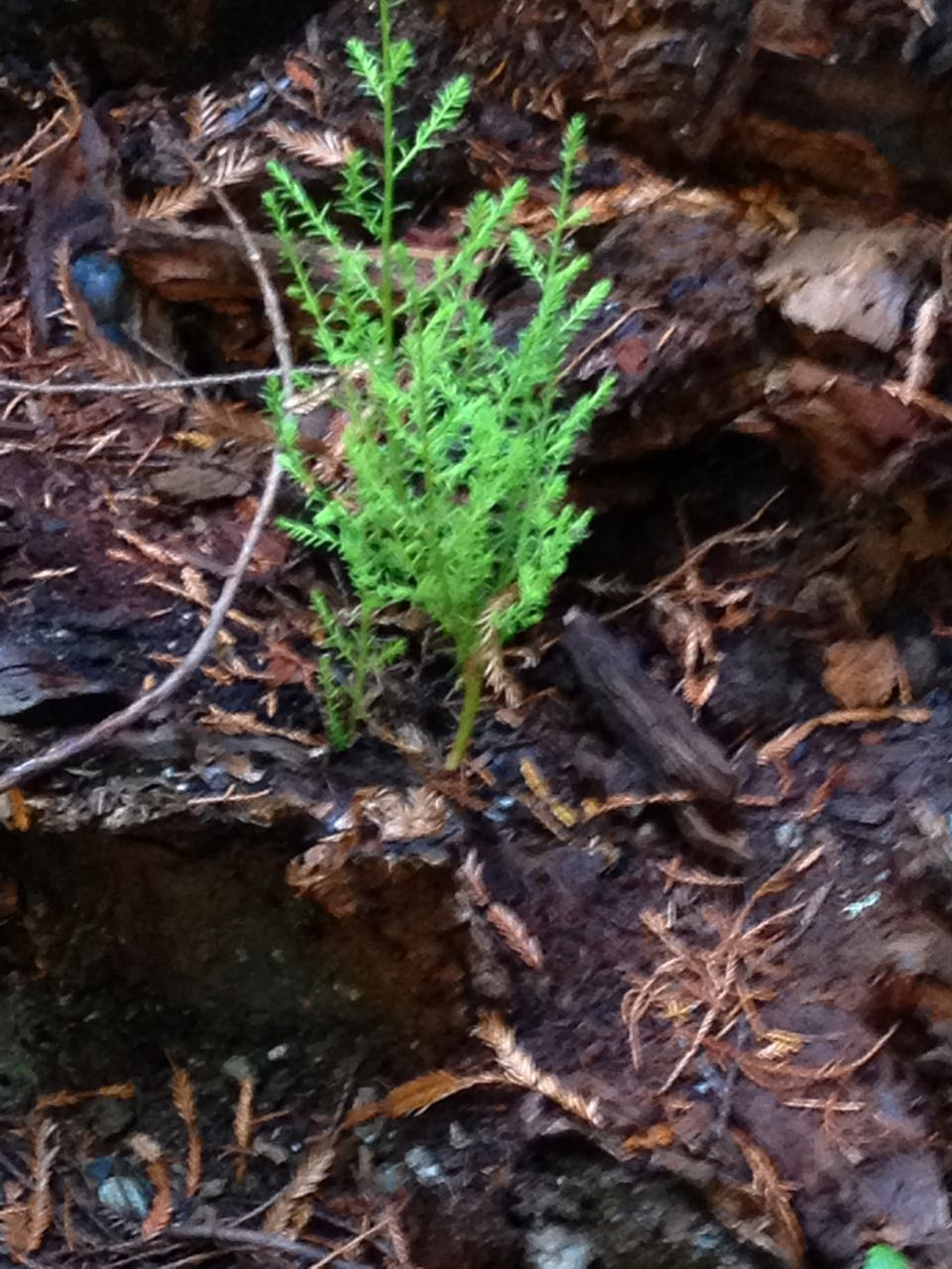 Redwoods 2017 10 08 283 Of 287