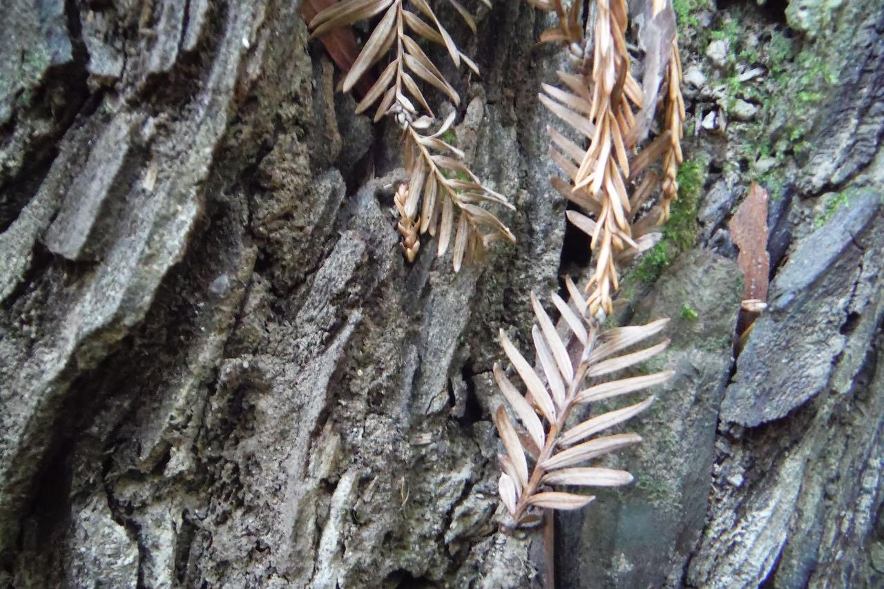Redwoods 2017 10 08 51 Of 287