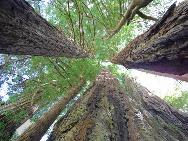 2018 06 14 Redwoods 144