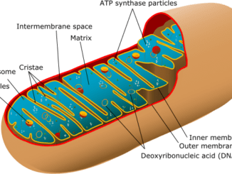 mitochondria powerhouse of the cell