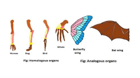 homologous vs analogous