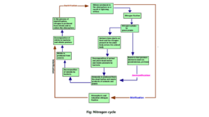 Flow chart of Nitrogen cycle