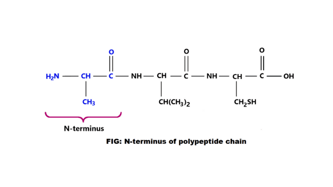 n-terminus