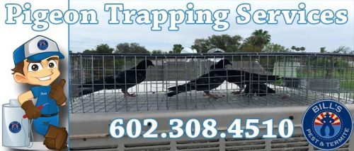 Pigeon Trapping Laveen Az
