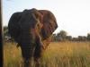 elephant-says-hello