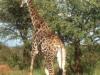our-first-giraffe
