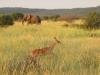 elephant-and-impala