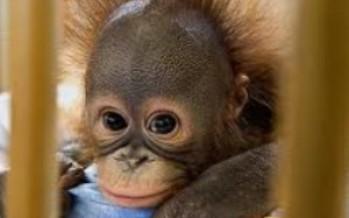 The Ape Baby