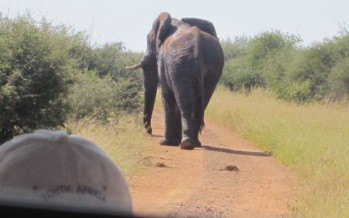 Safari at Madikwe Lodge: Will The 7-Ton Elephant Bull In Musth Charge?