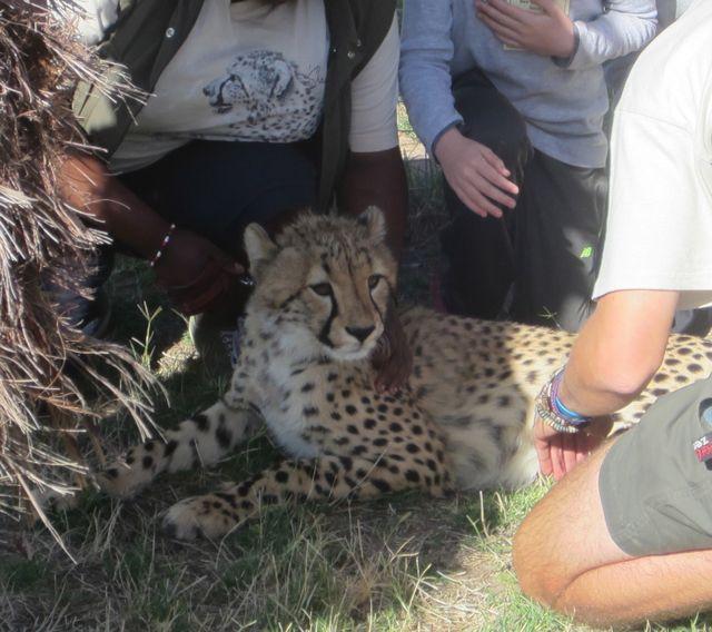 Cheetah Cub Eigg