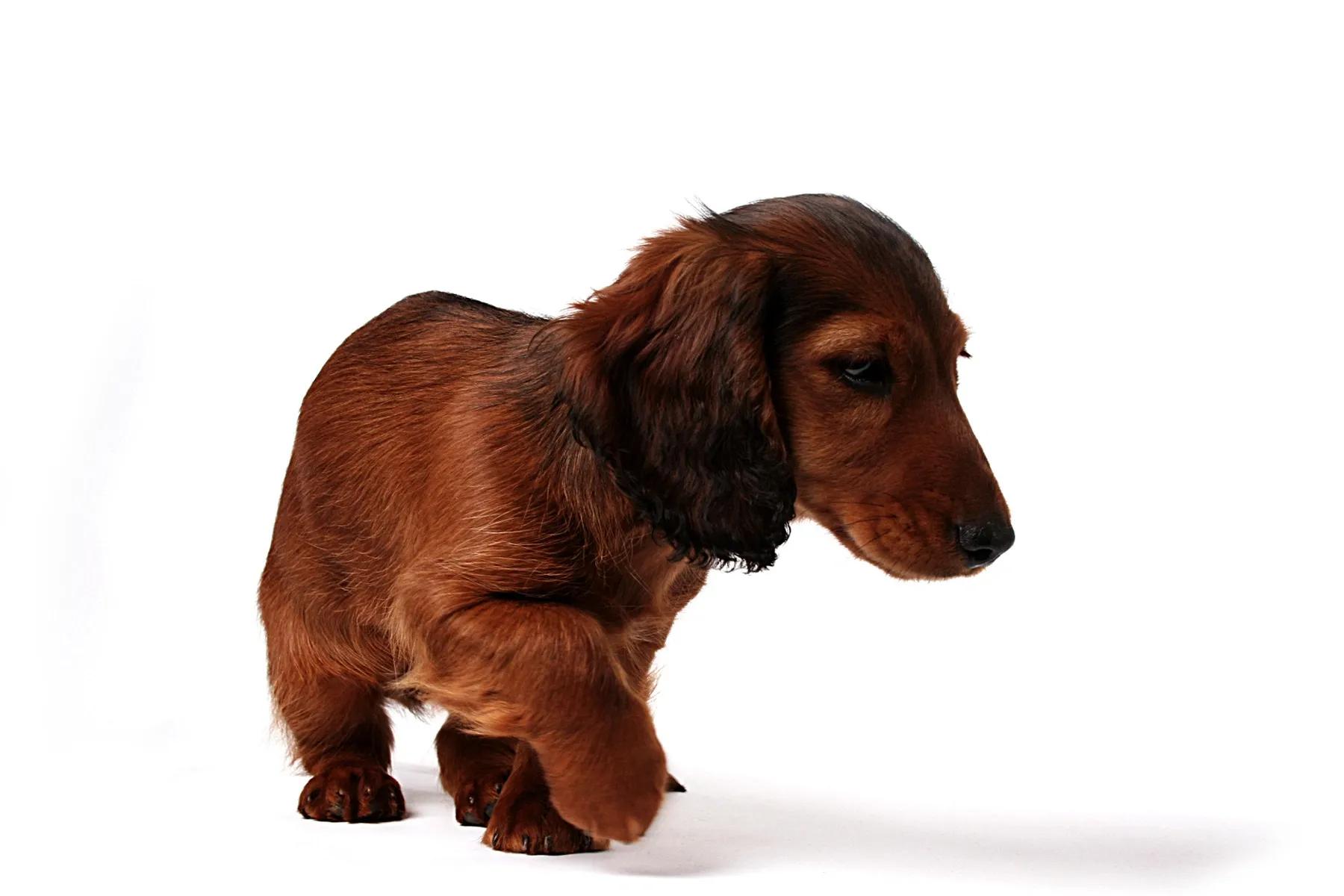 Brown Dachshund pup