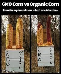 squirrels avoiding gmo corn picture