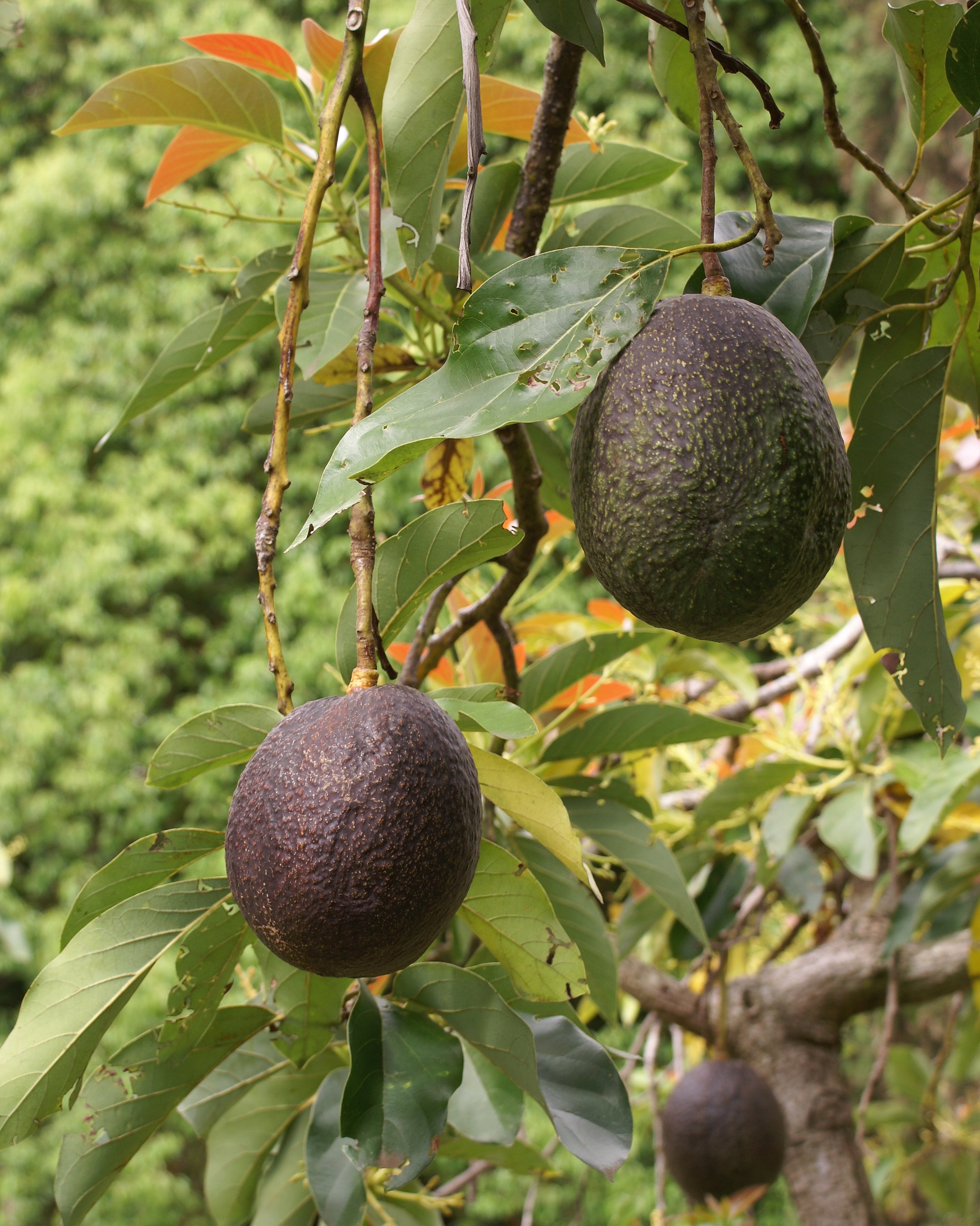 Fat in Avocado Fruit
