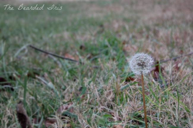Desperately seeking signs of beauty by the Bearded Iris 2