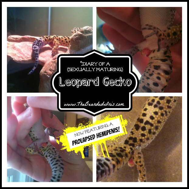 diary of a sexually maturing leopard gecko now featuring a prolapsed hemipenis by The Bearded Iris