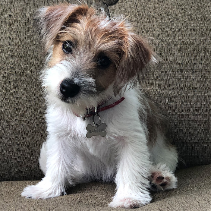 Dear Heloise: I am a 4-month-old Irish Jack Russell Terrier, and my name is Madigan. I live in Houston, TX and Mommy (Gaye K.) wanted to share my new picture with you. Sincerely, Maddy.