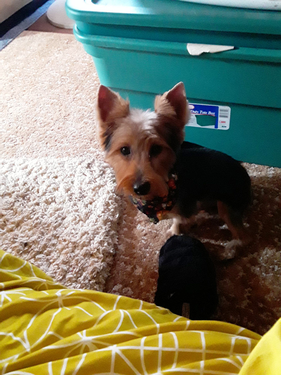 Meet Lil Stinker. He's a little skittish; a Yorkie who had a kind of a rough start. He wasn't with his ideal Pet Parent, but now he's thriving in the New Year with the new owner, Djuana D.
