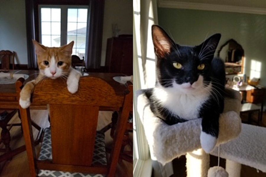 Meet Pork Chop and Mr. Primrose. These adorable guys are brothers. Pork Chop (orange cat) and Mr. Primrose are nine-month-old domestic shorthairs and live in Springfield, Ohio with owner Jo B.'s loving family.