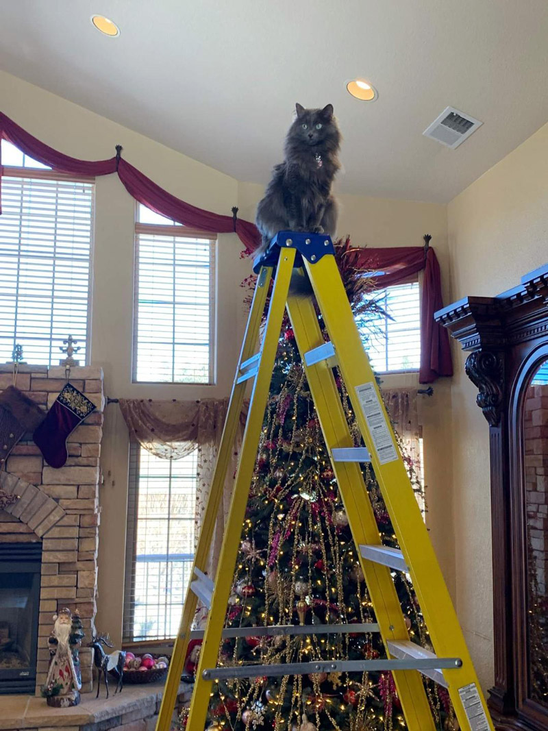 Michelle R. in San Antonio sent two pics of her beautiful green-eyed, grey cat, Coco, majestically perched on the ladder where she can put the star on top of the Christmas tree!