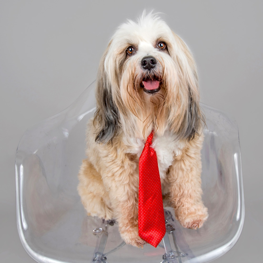 Meet Gizmo. Gizmo is Rosie M.'s 6-year-old Tibetan Terrier who loves daycare and tolerates taking photos while he's there!