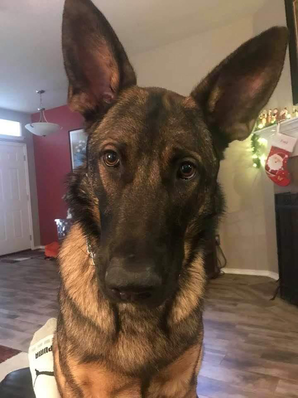 Meet Mickey, Fred G.'s 16-month-old gorgeous German Shepherd, at home in New Braunfels, TX. Mickey is sorry to interrupt Dad's relaxing on Saturday afternoon, but Fred really needs to throw the ball – come on, Dad!