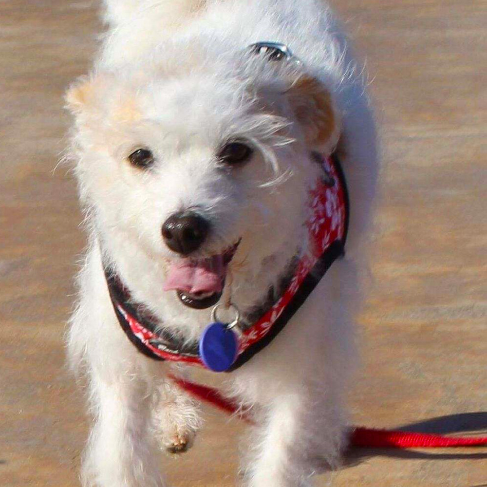 """Meet Geri C.'s """"Mija"""" (my girl in Spanish). She was running the streets of Santa Ana, CA and had a fractured pelvis and leg. The veterinarian thought she's about two years old - a busy, active little Parsons Terrier Mix. It took a couple of months to get her settled into a routine. She's the best dog!"""