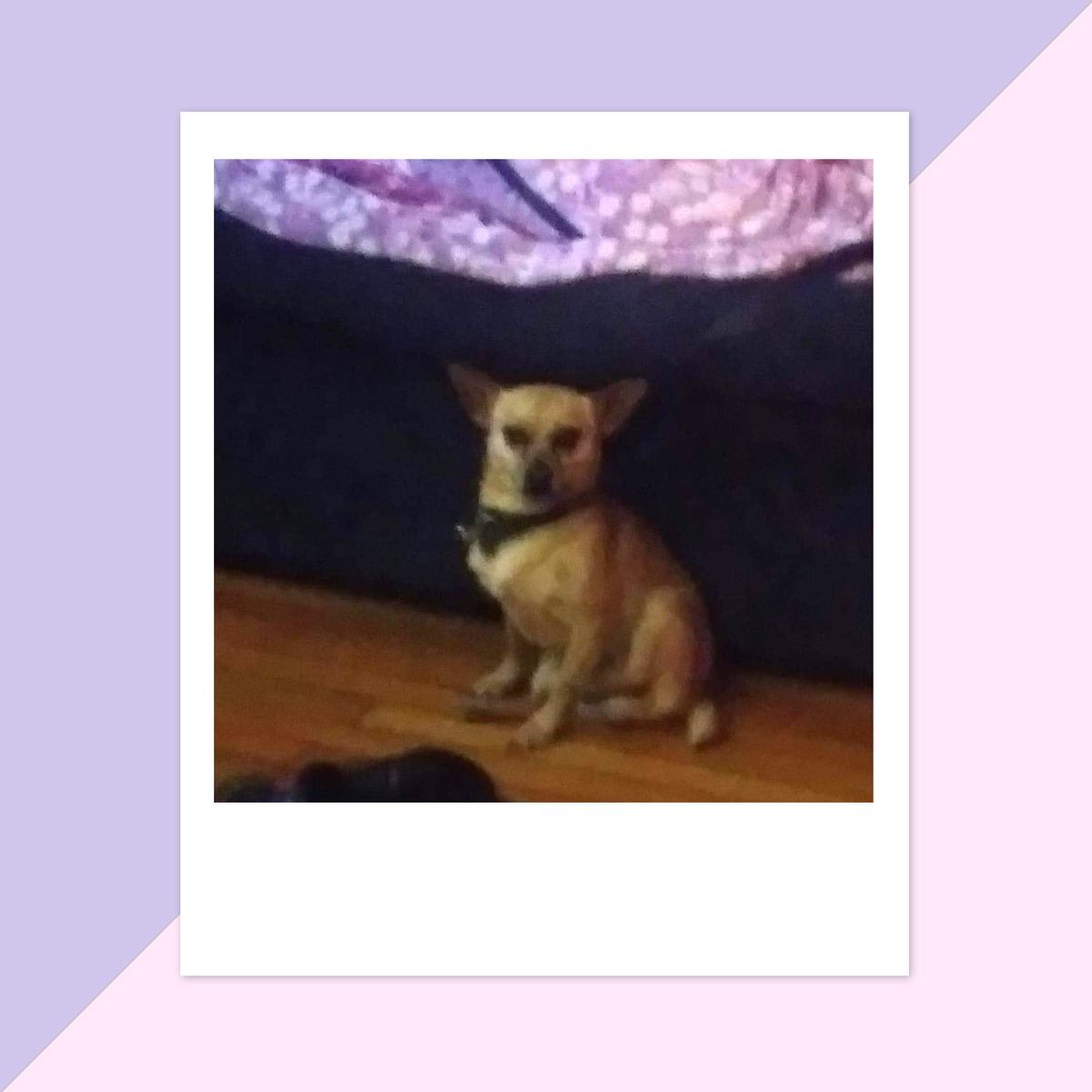 Debra A. in San Antonio sent a picture of her furry and funny friend, Max. Max is a pure Chihuahua, and he is 3 years old.