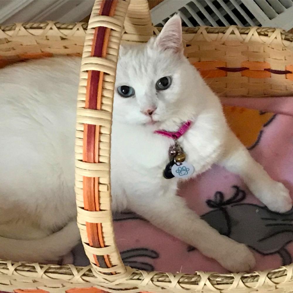 Meet Annie, an 11-year-old beautiful blue-eyed white cat, belonging to Maria C. in Nebraska.