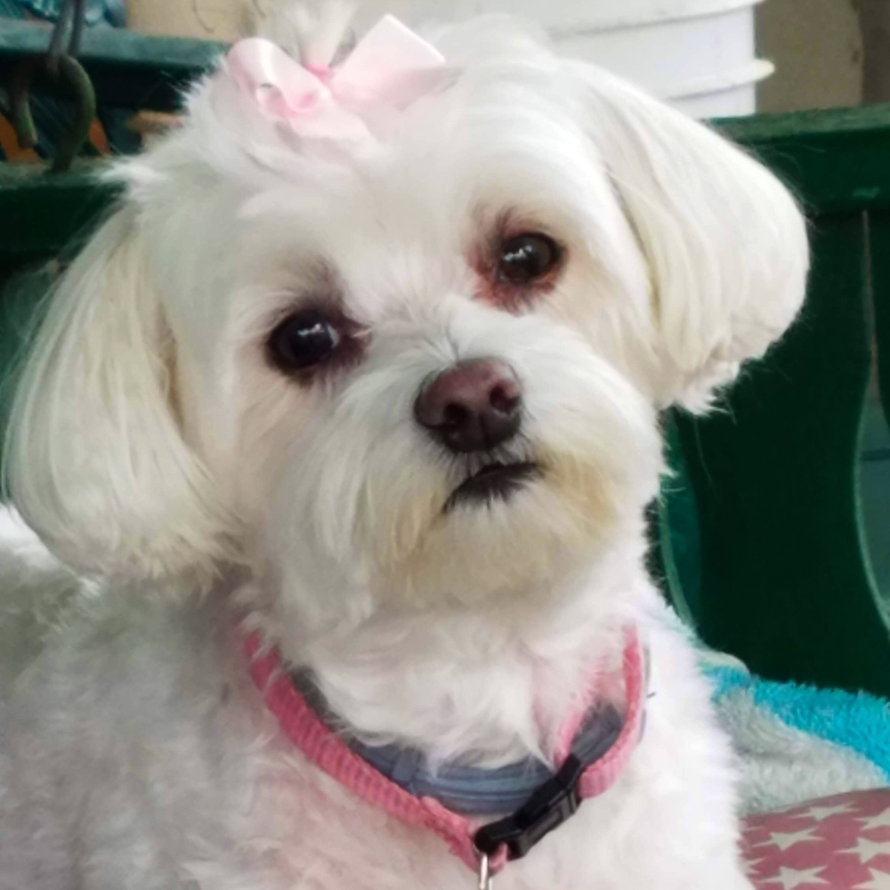 This week, Suzie's sent in a picture of her beautiful, snow-white multipoo, Charmin. Suzie says Charmin recently lost her main human, PawPaw, and Charmin is grieving.