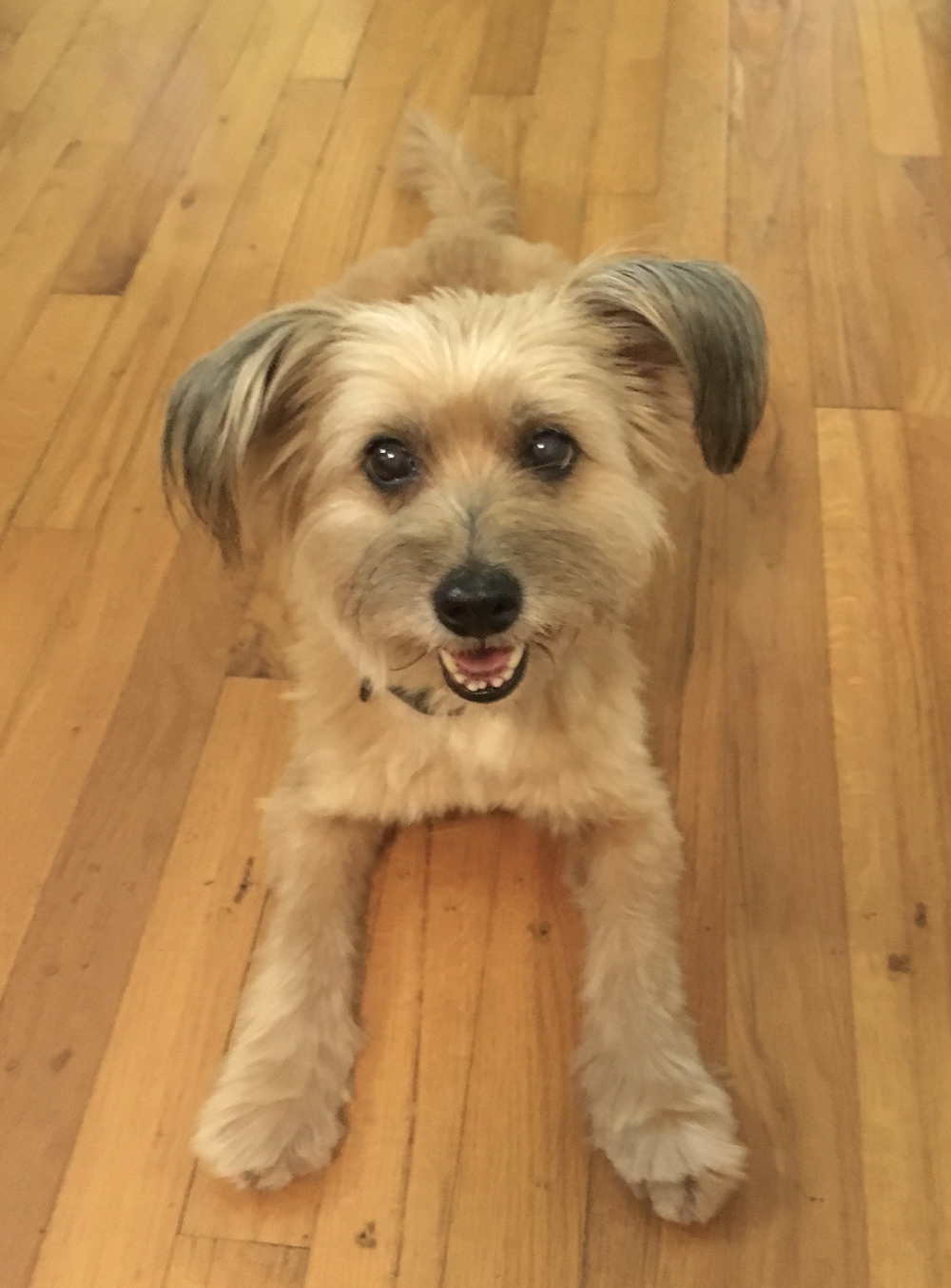 Meet Denise R.'s Patootie, an adorable, smiling Terrier mix. She is ready to play!
