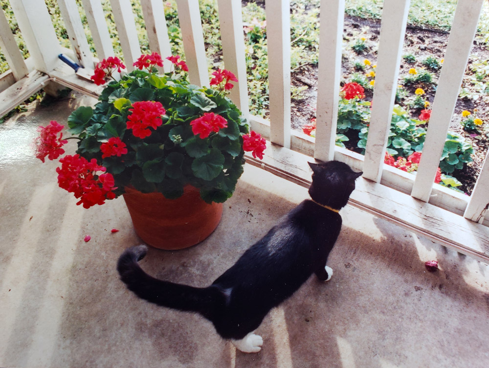 Meet Molly, Gina F.'s friendly black cat, on the porch next to some pretty summer geraniums.