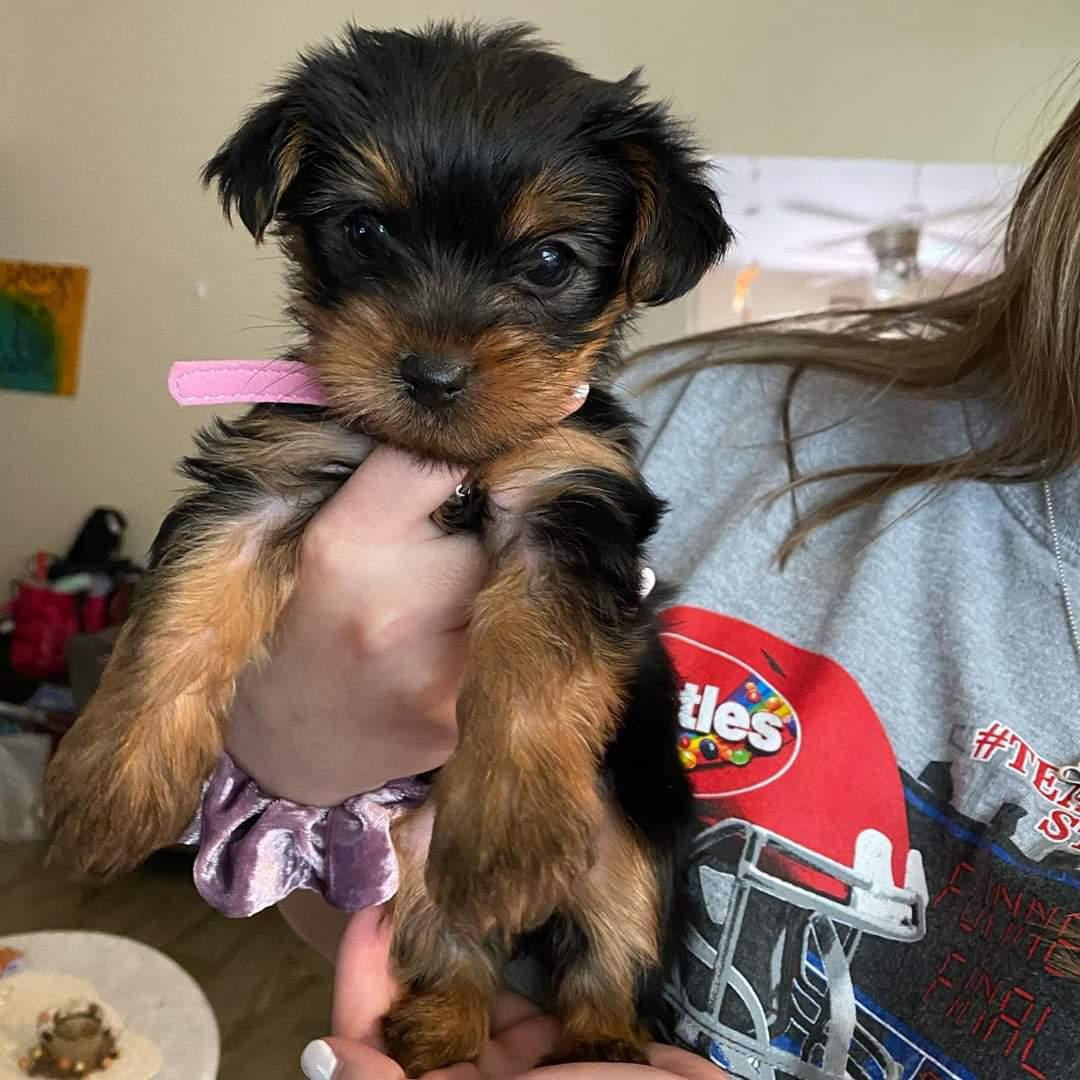 Meet Lulu, a Yorkie puppy. She's tiny but loved as if she were a giant blue whale.