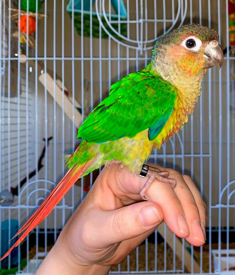 Dear Heloise, my name is Kori and I am a conure, from the parrot family.