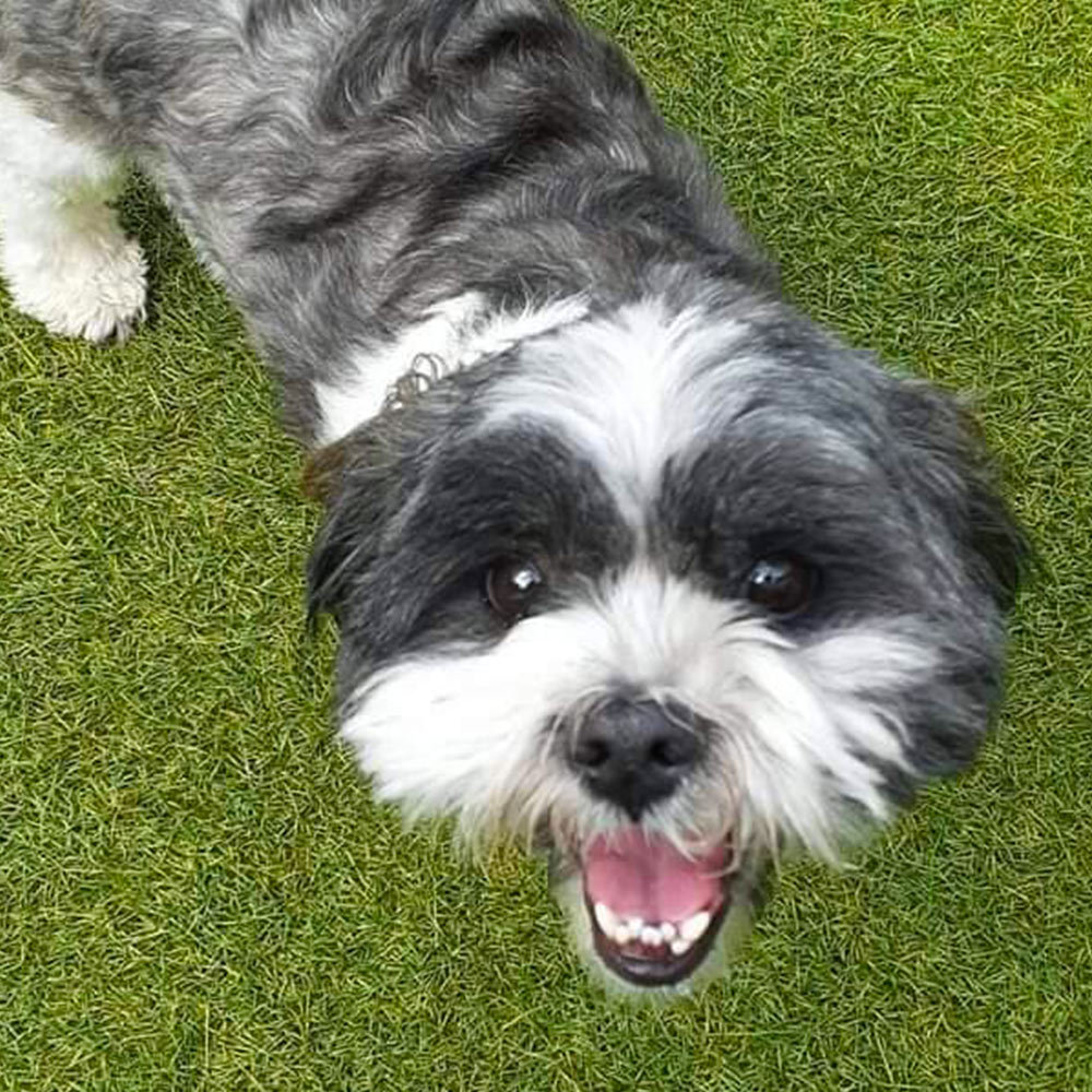 If you're ever feeling down and in need of some encouragement, turn to Tubbs. Jay's happy puppy Tubbs is a Shih-Tzu, age 3.